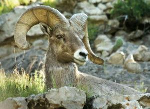 Bighorn Sheep Hike at Wildcat Hills @ Wildcat Hills Nature Center | Gering | Nebraska | United States